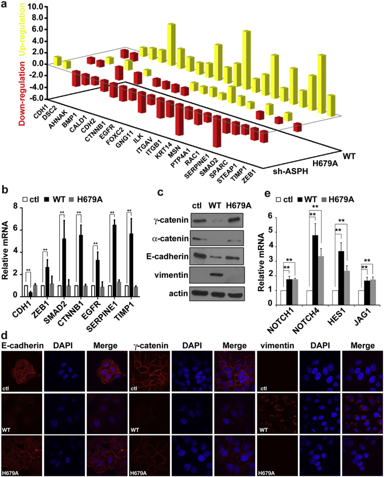ASPH hydroxylase activity regulate epithelial-to-mesenchymal transition of HCC cells. (a) The relative up- or down-regulation of EMT biomarkers and regulatory genes in EHBC-512 cells transfected with indicated constructs by the EMT PCR-array normalized by control cells transfected with vector only. (b) The validation of gene expression based on PCR-array results in EHBC-512 cells transfected with indicated constructs. (c) and (d) The immunoblot and immunostaining of EMT biomarker including γ-catenin, α-catenin, E-cadherin and vimentin in Huh-7 cells transfected with indicated constructs. Fluorescent images were taken under 600× magnification. (e) The activation of notch pathway genes in EHBC-512 cells transfected with indicated constructs. Empty vector served as control. *P