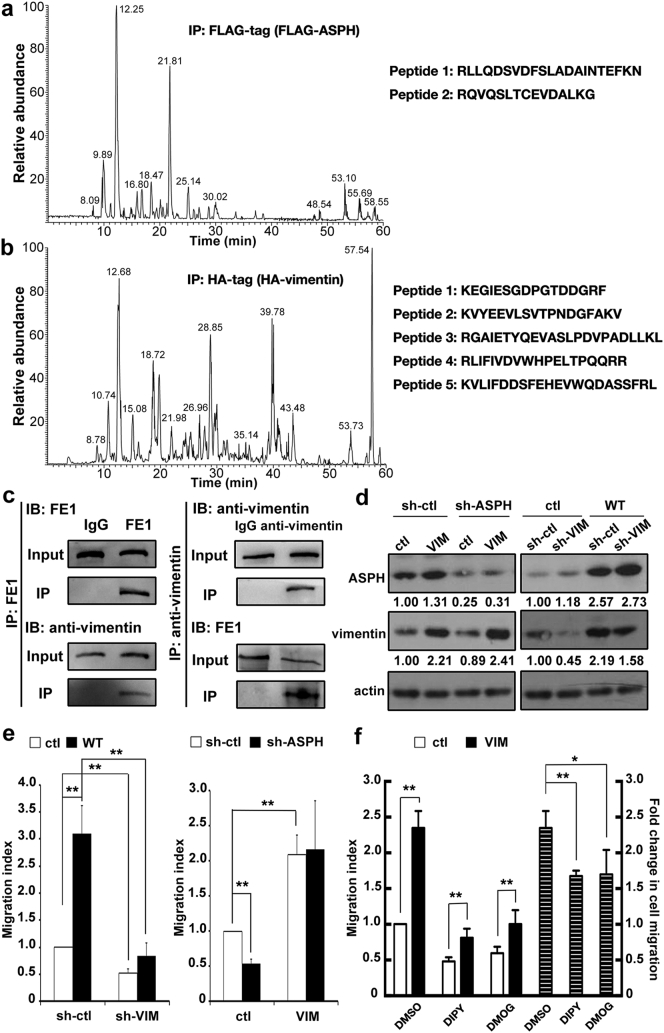 The role of ASPH-vimentin interaction in promoting HCC cell migration. (a) and (b) Identification of exogenous ASPH-vimentin interaction. Left : The base-peak plot of mass spectrometry analysis of protein complex from pull-down assay in 293 cells over-expressed with FLAG-fusion ASPH or HA-fusion vimentin using protein tag antibodies. Right : identified peptide sequence belonging to vimentin and ASPH in the protein complex. (c) Validation of endogenous ASPH-vimentin interaction. The immunoblot (IB) of the protein immuno-precipitated (IP) with FE1 and anti-vimentin in MHCC-97 cells. (d) Validation of manipulated vimentin expression in MHCC-97L and Huh-7 cells. Left : complementary over-expression of vimentin control and ASPH-silenced MHCC-97L cells. Right : complementary silencing vimentin in control and ASPH-over-expressed Huh-7 cells. The relative quantification of blotting results is shown below. (e) The indispensable role of vimentin for ASPH in regulating cell migration. Left : functional blockade of cell migration by silencing vimentin in ASPH-over-expressed Huh-7 cells. Right : functional rescue cell migration by over-expressing vimentin in ASPH-silenced in MHCC-97L cells. (f) Effect of hydroxylase inhibition to vimentin-dependent cell migration. Left y axis : the statistical results of cell migration in vimentin-over-expressed MHCC-97L cells that is treated by DIPY (1 μM) and DMOG (100 nM). right y axis : the corresponding increased fold of cell migration by vimentin over-expression in comparison to control group. All data are shown as average ± SD based on at least three independent experiments after normalization to the control group. *P