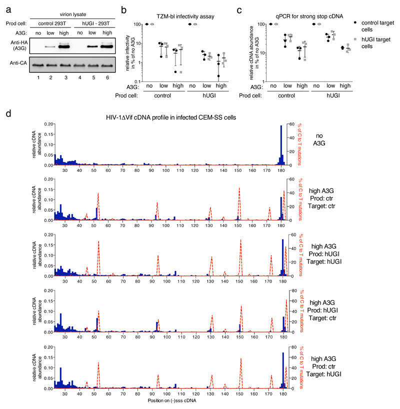 Consequences of UDG inhibition on A3G antiviral phenotype and cDNA profiles a) Immunoblot analysis of HIV-1 virion lysates showing increasing amounts of packaged A3G_HA at constant CA levels for virions produced in the presence or absence of a codon optimized (humanized) uracil-DNA glycosylase inhibitor (hUGI). 'Low' or 'High' A3G refers to a producer cell transfection ratios of 1:10 or 1:1, respectively (A3G expression plasmid to NL4.3/ΔVif). One of three independent sets of virus preparations used for b) and c) is shown. b) Virion infectivity was evaluated by challenging TZM-bl cells and measurement of β-galactosidase activity. c) The abundance of (-)sss containing cDNA in CEM-SS cells at 4 h post-infection was measured by quantitative PCR. For b) and c) each viral preparation was used to infect TZM-bl or CEM-SS target cells with or without hUGI, black dots and grey squares respectively. The individual data points with their mean and standard deviation for three independent viral preparations and infections are shown. d) Sequencing reads from a MiSeq™ library run were analyzed and presented as in Figure 1g . The labeling to the right indicates whether the HEK293T producer cells (Prod) and/or the CEM-SS target (Target) cells expressed hUGI. No A3G indicates the absence of A3G in producer cells and high A3G refers to relative A3G content in the producer cells. Sequencing data are derived from one representative experiment out of two independent repeats.