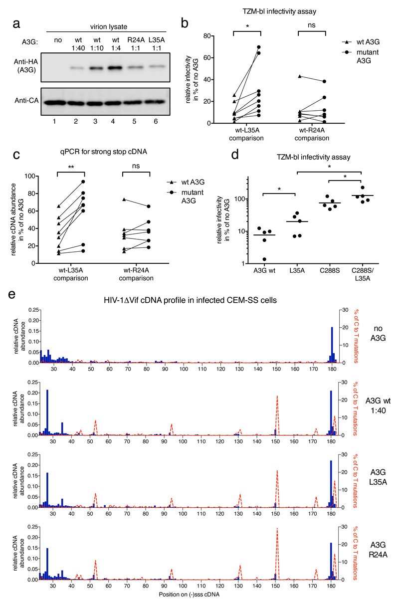 Phenotypes of packaged L35A and R24A A3G mutant proteins on viral infectivity and cDNA profiles a) Immunoblot analysis of HIV-1 virions showing relative amounts of packaged wild type or mutant A3G_HA at constant CA levels. Ratios refer to the amounts of transfected A3G expression plasmid to proviral plasmid during virus production. b) A3G-L35A, but not A3G-R24A, displays diminished HIV-1 inhibitory activity. A3G packaging was quantified by immunoblot density measurements and the different wild type A3G packaging levels were plotted over measured infectivity. The extent of infection inhibition exerted by the wild type protein at the empirically determined level of packaged mutant protein was then extrapolated (see Supplementary Fig 10 ). Inhibition levels, in % relative to the no A3G control, of wild type A3G (triangles) and L35A or R24A (circles) in eight (L35A) or seven (R24A) independent experiments are shown. A paired, two tailed student t test was performed in GraphPad Prism ® and * indicates p