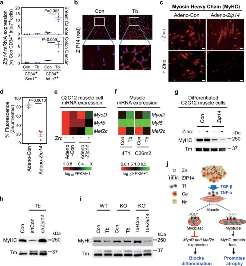 ZIP14-mediated zinc accumulation blocks muscle-cell differentiation and induces myosin heavy chain loss (a) <t>qRT-PCR</t> analysis of Zip14 expression in purified muscle progenitor subpopulations from either non-tumor-bearing control mice (Con) or mice bearing 4T1 or C26m2 metastases (Tb) harvested five weeks after tumor-cell injection (see Fig. 1a and Supplementary Fig. 1c ). CD45 − CD31 − CD34 + Sca1 + and CD45 − CD31 − CD34 + integrin-α7 + cells were purified from gastrocnemius muscles using a combination of magnetic and flow-cytometry-assisted sorting (see Supplementary Fig. 5a ). For 4T1 model, n=4 control mice for isolated CD34 + Sca1 + cells and n=3 mice for the other groups. For C26m2 model, n=3 mice per group. (b) ZIP14 immunofluorescence analysis using muscle sections from either non-tumor-bearing control mice or mice bearing C26m2 metastases five weeks after tumor-cell injection. ZIP14 (red), DAPI (blue). Scale bars, 50 μm. Boxed area in upper panels is magnified in the corresponding lower panels. A representative image from three independent experiments is shown. (c,d) Immunofluorescence analysis showing myosin heavy chain (MyHC) expression in C2C12 myoblasts infected with adenovirus expressing either control (Adeno-Con) or Zip14 cDNA (Adeno- Zip14 ) and differentiated for 6 days, either with 0 or 50 μM ZnCl 2 (zinc) replenished daily. Representative images and quantitation (d) are shown. Scale bars, 25 μm. Data presented as percentage of MyHC fluorescence signal in corresponding untreated myotubes (d). Data representative of three independent experiments (c,d). (e) qRT-PCR analysis of MyoD , Myf5 and Mef2c expression in untreated and zinc-treated C2C12 cells expressing either Adeno-Con or Adeno- Zip14 , represented as a heatmap. Adenovirus-infected C2C12 cells were differentiated for 2 days and then treated with either 0 or 50 μM ZnCl 2 (zinc) for 24 hours. Data is representative of four independent experiments. (f) <t>RNA-Seq</t> analysis of MyoD , Myf5 and Mef2c expression shown as heatmap (RNA seq shown in Fig. 2 and Supplementary Table 1 ) comparing TA muscles from non-tumor-bearing control mice to mice bearing 4T1 or C26m2 metastases, collected 5 weeks post tumor-cell injection. (g) MyHC and tropomyosin (Tm) protein expression by immunoblot analysis in C2C12 cells infected with adenovirus expressing either control or Zip14 cDNA and differentiated for 3 days followed by treatment with either 0 or 50 μM ZnCl 2 for 24 hours. Data is representative of three independent experiments. Uncropped immunoblot images are shown in Supplementary Fig. 6 . (h) Immunoblot analysis probing for MyHC and Tm in gastrocnemius muscles from mice intramuscularly injected with adeno-associated virus expressing either shCon or sh Zip14 and subsequently injected with C26m2 cancer cells (see Fig. 4d ). Age-matched, non-tumor-bearing mice were used as a control. Data is representative of three independent experiments. Uncropped immunoblot images are shown in Supplementary Fig. 6 . (i) Immunoblot analysis probing for MyHC and Tm in gastrocnemius muscles from the indicated groups. Muscles were isolated from Zip14 WT and KO mice with (Tb) or without (Con) 4T1 metastases. Another cohort of Zip14 KO mice were injected intramuscularly with AAV-Con ( mCherry ) or AAV- Zip14 in the gastrocnemius muscle and injected four weeks later with 4T1 tumor cells. All mice were harvested 5 weeks post tumor-cell injection. Data is representative of three independent experiments. Uncropped immunoblot images are shown in Supplementary Fig. 6 . Error bars represent SEM and all data were represented by mean ± SEM. P values in (a,d) were determined by two-tailed, unpaired Student's t test. Con, control; Tb, tumor-bearing; Tm, Tropomyosin. (j) Working model: During cancer progression and metastasis development, cytokines such as TNF-α and TGF-β upregulate the expression of Zip14 , a metal ion transporter, in muscle progenitor and mature muscle cells. This causes an aberrant accumulation of zinc in these muscle cells. ZIP14 expression and zinc uptake in muscle progenitor cells represses key myogenic genes such as MyoD and Mef2c , and blocks muscle differentiation. ZIP14 expression in mature muscle cells causes myosin heavy chain loss, which promotes cancer-induced muscle atrophy in metastatic cancers. Tf, tumor factors; Ca, cancer cells; Nr, normal cells.