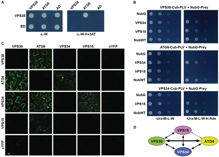 Arabidopsis VPS38 interacts with other subunits of class-III PtdIns-3 kinase complex. (A) Pairwise Y2H assays using the GAL4-based system showing that VPS38 interacts with ATG6. VSPS38 fused to the N terminus of the DNA-binding domain (BD) and ATG6 fused to the N terminus of the activation domain (AD) were co-expressed in yeast and tested for binding by growth on synthetic complete medium lacking leucine, tryptophan, and histidine (-L-W-H), and containing 3-amino-1,2,4-triazole (+3AT). Viability of the cells was confirmed by growth on medium lacking leucine and tryptophan (-L-W). (B) Pairwise Y2H assays by the split-ubiquitin mating system showing interactions among VPS38, ATG6, VPS15, and VPS34. Each full-length protein was expressed as a fusion to either Cub-PLV as bait or NubG as prey, and co-expressed in diploid yeast cells. Positive interactions were determined by growth of twofold serial dilutions on synthetic complete medium lacking uracil, methionine, leucine, tryptophan, histidine, and adenine (-Ura-M-L-W-H-Ade). The empty NubG and NubWT vectors were used as negative and positive controls, respectively. Viability of the cells was confirmed by growth on synthetic complete medium lacking uracil, methionine, leucine, and tryptophan (-Ura-M-L-W). (C) Pairwise BiFC assays showing the interactions among VPS38, ATG6, VPS15, and VPS34 in planta . Each full-length protein was expressed as a fusion to either N-terminal fragment (nYFP) or C-terminal fragment (cYFP) of YFP and then transiently co-expressed in N. benthamiana leaf epidermal cells. Appearance of the fluorescent signals was observed by confocal microscopic analysis 36 h after infiltration. Scale bar = 20 μm. (D) Schematic of the interactions detected among VPS38, ATG6, VPS15, and VPS34. The arrow thickness is an estimate of binding strength based on all interaction assays. The solid and dashed lines indicate interactions that were demonstrated by both Y2H and BiFC, or by just one of the methods, respectively.