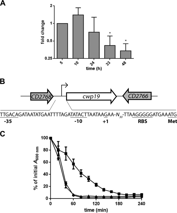 Expression and autolytic activity of Cwp19 in <t>BHI</t> medium. (A) qRT-PCR analysis of cwp19 expression during cellular growth in BHI medium. Total RNAs were extracted from C. difficile 630Δ <t>erm</t> grown in BHI medium at different times of growth. cDNAs were prepared and qRT-PCR was performed using gene-specific primers as outlined in Materials and Methods. Cells incubated for 5 h served as the reference condition. *, P ≤ 0.05 (Student's t test). (B) Schematic representation of the genetic organization of the cwp19 chromosomal region of C. difficile strain 630Δ erm . Large arrows represent the genes, and their orientation shows the transcriptional direction. The nucleotide sequence of the cwp19 promoter region is shown. The transcriptional initiation nucleotide (+1) identified by 5′ RACE, the putative ribosome binding site sequence, the −10 and −35 motifs, and the translational initiation codon are underlined. (C) Triton X-100-induced autolysis of the C. difficile wild type (●), cwp19 mutant (■), and complemented cwp19 mutant (▲) grown in BHI medium. The strains were harvested in the exponential-growth phase and transferred in 50 mM potassium phosphate buffer (pH 7.0) containing 0.01% Triton X-100. Autolysis was monitored by measuring the decrease of the bacterial suspension at OD 600 and is expressed as a percentage of the initial OD 600 value. Error bars indicate standard deviations. Values are given as means ± standard deviations ( n = 3).