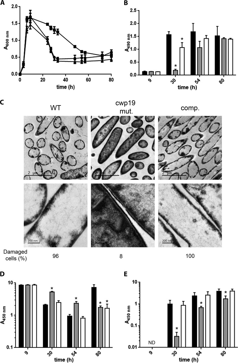 Role of Cwp19 in cell autolysis and toxin release of C. difficile cultivated in BHI medium. (A) Growth and autolysis of the wild-type 630Δ erm (●), cwp19 mutant (■), and complemented cwp19 mutant (▲) strains in BHI medium. Values are given as means ± standard deviations ( n = 3). (B) LDH activity released in the supernatant fractions of wild-type 630Δ erm (black bars), cwp19 mutant (gray bars), and complemented cwp19 mutant (white bars) strains in BHI medium at different time points. LDH activity was determined using Promega CytoTox 96. The signal from the test was recorded as absorbance at 490 nm. Values are given as means ± standard deviations ( n = 3). *, P ≤ 0.05 (Student's t test). (C) TEM micrographs of C. difficile wild-type 630Δ erm , cwp19 mutant ( cwp19 mut.), and complemented cwp19 mutant (comp.) strains incubated for 33 h in BHI medium. The percentage of damaged cells for each strain is indicated. (D and E) Toxin titers in the cytosol (D) and in the culture supernatant (E) of wild-type 630Δ erm (black bars), cwp19 mutant (gray bars), and complemented cwp19 mutant (white bars) strains grown in BHI medium. Toxins were quantified by ELISA. The signal from the test was recorded as absorbance at 450 nm. Values are given as means ± standard deviations ( n = 3). *, P ≤ 0.05 (Student's t test). ND, not detectable.