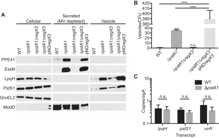 Increased release of membrane vesicles from the Δ pstA1 mutant requires RegX3. Wild-type M. tuberculosis Erdman (WT) and the Δ pstA1 , Δ pstA1 Δ regX3 , and Δ pstA1 Δ regX3 pND regX3 strains were grown for 5 days in Sauton's complete medium without Tween 80. (A) Cellular proteins (5 µg), secreted proteins depleted of MV (5 µg), and MV suspension (20 µl) were separated and analyzed by Western blotting to detect the indicated proteins. (B) Nanoparticle tracking analyses of culture supernatants. The results were normalized to numbers of CFU per milliliter determined from a control culture grown in Sauton's medium with Tween 80 and plated on <t>7H10</t> medium. Data are means ± standard deviations for three independent cultures. **, P