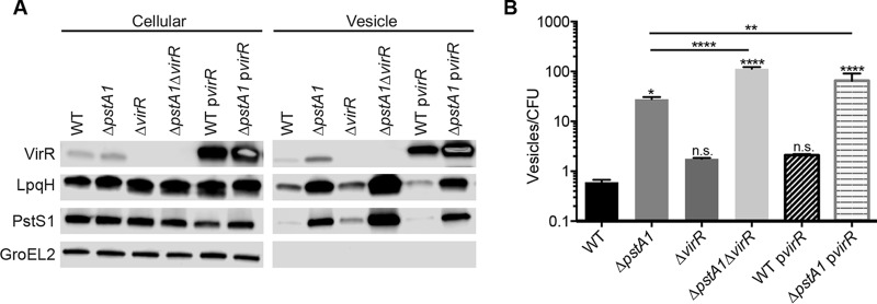 Increased vesicle release from the Δ pstA1 mutant is independent of VirR. Wild-type M. tuberculosis Erdman (WT) and the Δ pstA1 , Δ virR , Δ pstA1 Δ virR , WT p virR , and Δ pstA1 p virR strains were grown for 5 days in Sauton's complete medium without Tween 80. (A) Cellular proteins (5 µg) and MV suspension (20 µl) were analyzed by Western blotting to detect the indicated proteins. (B) Nanoparticle tracking analysis of culture supernatants. Numbers of particles per milliliter were normalized to numbers of CFU per milliliter determined from a control culture grown in Sauton's medium with Tween 80 and plated on 7H10 medium. Data are means ± standard deviations for three independent cultures. The results of all statistical analyses are compared to WT levels unless otherwise indicated. *, P