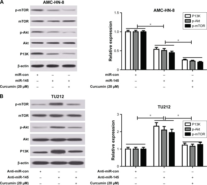 Curcumin exacerbated miR-145-induced inhibition of the PI3K/Akt/mTOR pathway in LSCC cells. Notes: TU212 and AMC-HN-8 cells were treated with miR-145, miR-con, miR-145 + 20 μM curcumin, anti-miR-145, anti-miR-con or anti-miR-145 + 20 μM curcumin. Western blot analysis was conducted to evaluate the protein levels of phosphoinositol 1,3 kinase (PI3K), protein kinase B (Akt), p-Akt, mammalian target of rapamycin (mTOR) and p-mTOR in treated AMC-HN-8 ( A ) and TU212 cells ( B ). *.