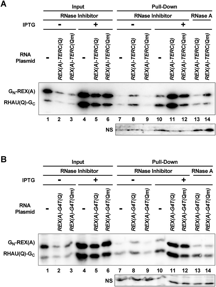 """Pull-down of G-quadruplex-recognizing proteins by RNA from E. coli . Cells were lysed in the presence of RNase inhibitor or RNase A. Probe proteins associated with the indicated target RNAs were pulled down with an immobilized DNA oligomer complementary to the 5′ end of the RNA and detected by an antibody against eGFP. """"NS"""" indicates a non-specifically stained band that can serve as a loading control."""