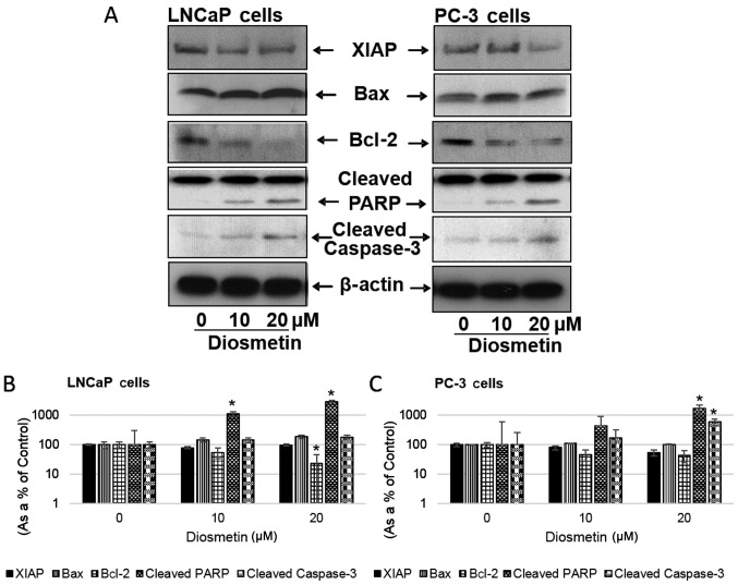 Dose-response effects of diosmetin on apoptotic and anti-apoptotic molecules. (A) LNCaP and PC-3 cells were exposed to two concentrations of diosmetin (10 and 20 µ M) for 24 h. Total cell lysates were prepared and using SDS-PAGE, lysates proteins were resolved and then subjected to western blot analysis for the evaluation of XIAP, Bax, Bcl-2, cleaved PARP and cleaved caspase-3. Lanes marked '0' are the DMSO control (0.2%)-treated cells. For protein band density, densitometric analysis was performed and protein expressions levels were correlated to express relative controls (B and C). For loading control blots were stripped and reprobed with GAPDH. * P