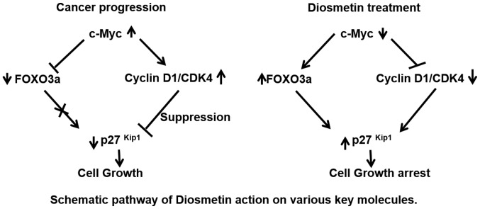 Schematic diagram of the proposed cell growth arrest signaling pathways mediated by diosmetin in human prostate cancer cells. Overexpression of c-Myc, Cdk4 and cyclin D1 in prostate cancer cells drives cell growth. Diosmetin treatment inhibits the expression of c-Myc and its downstream molecules, cyclin D1 and Cdk4, conversely increasing FOXO3a and p27 Kip1 expression levels to arrest cell growth. Moreover, diosmetin treatment potentiates the apoptotic machinery by modulating cleaved caspase-3 and cleaved PARP in prostate cancer cells.