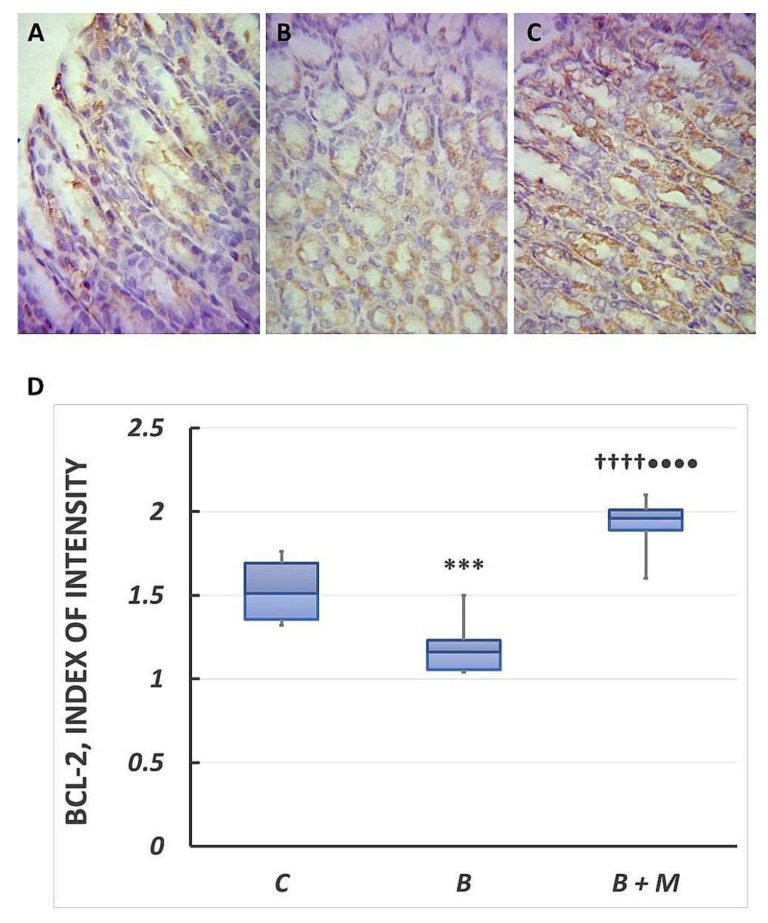 Melatonin effect on Bcl-2 expression. Immunohistochemical detection of Bcl-2 in gastric mucosa. Controls ( A ); burned rats ( B ); burned melatonin-treated rats ( C ). The antigen site appears as a brown color. Representative images. Original magnification, 400×. Score index of Bcl-2 positive immunostained cells ( D ). Results are given as box plot, with median, 25th- and 75th-percentile values, and min and max values. *** p