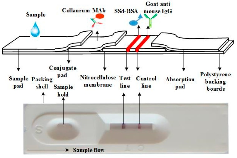 The structure and principle of the immunochromatographic strip (ICS). A nitrocellulose membrane, conjugate pad, sample pad, and absorbent pad were pasted onto a polyvinyl chloride backing to form the dipstick. Saikosaponin d (SSd)–bovine serum albumin (BSA) and goat anti-mouse IgG were used as the test capture reagent and control capture reagent, respectively. Using a dispenser, both the test and control capture reagents were dispensed separately as lines 0.5 cm apart on the nitrocellulose membrane.