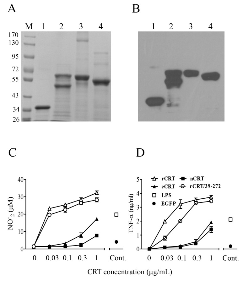 Purification and functional characterization of eCRT. Purified rCRT/39-272, rCRT, eCRT and nCRT (lanes 1–4, respectively) were separated by SDS-PAGE ( A ) and detected by rabbit anti-CRT polyclonal antibodies in Western-blot ( B ). Mouse peritoneal macrophages were stimulated with these CRT preparations of increasing concentrations for 24 h, followed by quantitation of NO ( C ) and <t>TNF-α</t> ( D ) in the culture supernatant using Griess Reagent or <t>ELISA,</t> respectively. Macrophages stimulated with LPS (1 ng/mL) or rEGFP (1 µg/mL) were included as controls.