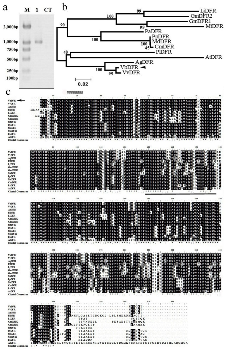 "Cloning, amino acid sequence alignment, and an unrooted phylogenetic tree of DFR obtained from deduced amino acid sequences of 13 DFR homologs. ( a ) a DFR cDNA fragment was amplified from V. bellula leaf tissue by RT-PCR. M: DNA marker, 1: DFR cDNA fragment, CT: negative control; ( b ) an unrooted phylogenetic tree was built from amino acid sequences of 13 DFR homologs; ( c ) amino acid sequence alignment were develop from 13 DFR homologs; ""*"": the same amino acid in all sequences; "":"": conserved amino acid residues; ""."": half conserved amino acid residues; ""######"": potential NADPH/NADH binding domain; amino acids underlined form a potential substrate specificity domain of DFR. AtDFR: Arabidopsis thaliana DFR; CmDFR: Crataegus monogyna DFR; GmDFR1: Glycine max DFR1; GmDFR2: Glycine max DFR2; LjDFR: Lotus japonicas DFR; MdDFR: Malus domestica DFR; MtDFR: Medicago truncatula DFR; NgDFR: Nekemias grossedentata DFR; PaDFR: Prunus avium DFR; PpDFR: Pyrus pyrifolia DFR; PlDFR: Paeonia lactiflora DFR; VvDFR: Vitis vinifera DFR."