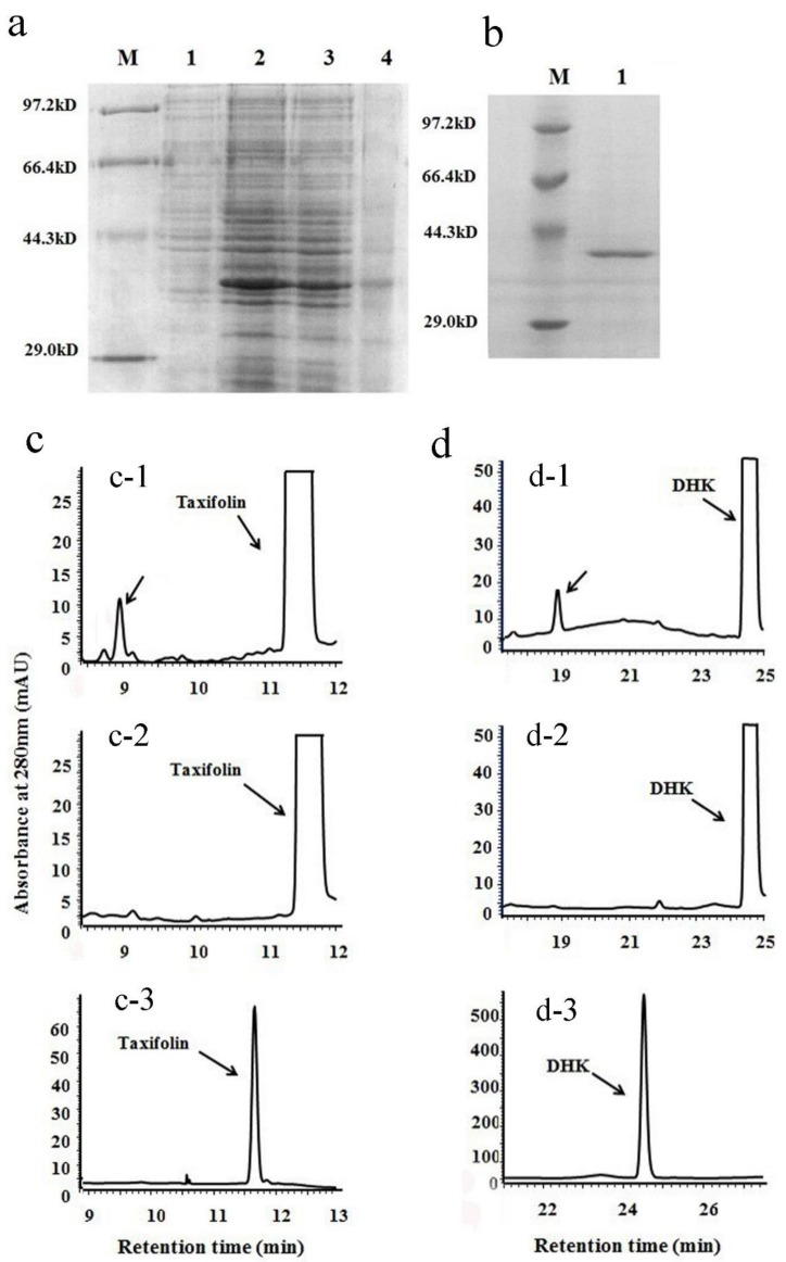 Recombinant protein expression and enzymatic analysis of VbDFR. ( a ) a SDS-PAGE image shows recombinant VbDFR protein induced in E. coli BL21 (DE3) plysS strain. Lane 1: 20 μg crude protein extracts from BL21 (DE3) plysS/pET28a (+) vector control; lane 2: 20 μg crude protein extracts from BL21 (DE3) plysS/pET28a (+)-VbDFR. Lane 3: insoluble crude protein extracts from BL21 (DE3) plysS/pET28a (+)-VbDFR. Lane 4: soluble crude protein extracts from BL21 (DE3) plysS/pET28a (+)-VbDFR. M: protein molecular weight marker; ( b ) an image shows recombinant VbDFR purified; ( c ) HPLC profiles show one product formed from the incubation of taxifolin and recombinant VbDFR (c-1) but not denatured VbDFR (c-2); c-3, taxifolin standard; ( d ) HPLC profiles show one product formed from the incubation of dihydrokaempferol (DHK) and recombinant VbDFR (d-1) but not denatured recombinant VbDFR (d-2); d-3 DHK standard.