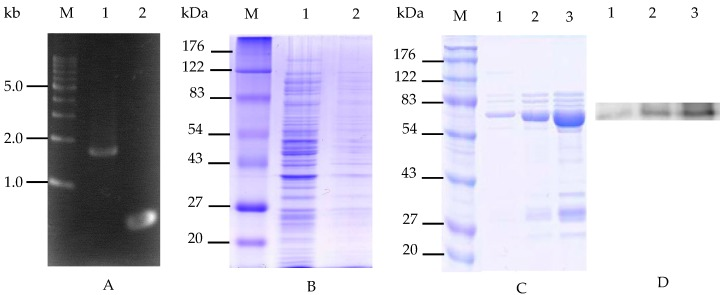 Targeted gene insertion and expression in E. coli . ( A ) The gel electrophoresis of amplified PCR cellulose products from B. licheniformis ATCC 14580 (lane 1) and INP from P. syringae KCTC 1832 (lane 2). M: 1 kb DNA marker; ( B ) SDS-PAGE analysis of the recombinant cells; M: standard protein size marker (molecular biomasses in kilodaltons), lane 1: the supernatant fraction of recombinant cell culture medium, lane 2: the total cell lysates of recombinant cell; ( C ) The purified fusion proteins following <t>Ni-nitrilotriacetic</t> acid <t>(NTA)-sepharose</t> resin treatment; M: standard protein size marker (kDa), lane 1: imidazole concentration of 20 mM in the binding buffer, lane 2: imidazole concentration of 50 mM in the binding buffer, lane 3: imidazole concentration of 100 mM in the binding buffer; ( D ) Western blot analysis of the purified fusion protein from SDS-PAGE results probed with anti-His-tag antibody, respectively.