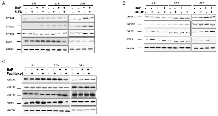 Benzo-α-pyrene differentially influence the expression of CYP1A1, CYP1A2, CYP1B1, and GSTP1 in WHCO1 in response to chemotherapeutic drugs. WHCO1 cells (5 × 10 5 ) were plated in 6-well plates overnight. WHCO1 cells were then treated with 0.1% DMSO, 3.5 µM 5-FU, 4.2 µM cisplatin, 2 µM paclitaxel, and 10 µM BaP for 6, 12, and 24 h. Cells were lysed with RIPA buffer and proteins quantified using the BCA protein quantification assay. ( A ) Immunoblot analysis of proteins extracted from WHCO1 cells treated with 5-FU and BaP using anti-CYP1A1, CYP1A2, CYP1B1, and GSTP1 antibodies; ( B ) Immunoblot analysis of proteins extracted from WHCO1 cells treated with cisplatin and BaP using anti-CYP1A1, CYP1A2, CYP1B1, and GSTP1 antibodies; ( C ) Immunoblot analysis of proteins extracted from WHCO1 cells treated with paclitaxel and BaP using anti-CYP1A1, CYP1A2, CYP1B1, and GSTP1 antibodies. GAPDH was used as a loading control.