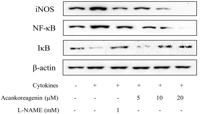 Effects of acankoreagenin on the cytokine-induced activation of NF-κB in RIN-m5F cells. RIN-m5F cells were pretreated with the indicated concentrations of samples for 1 h and then IL-1β (10 ng/mL) and IFN-γ (100 ng/mL) were added for 24 h. Then iNOS protein expression, I-κBα degradation, and activation of NF-κB p65 in RIN-m5F cells were determined by western blotting. β-actin was used as loading controls for cytosilic. Three independent experiments were done and all gave similar results.