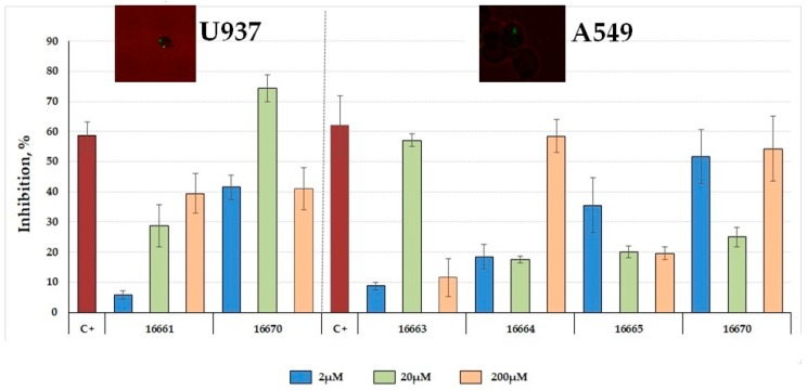 Inhibiting entry to A549 cells and U937 cells. Inhibition assay regarding Mtb invasion of A549 and U937 cells; 2, 20 and 200 µM concentrations were used for both cell lines. Mtb H37Rv lysate at 200 µg/mL concentration was used as inhibition control (C+). Mycobacteria within A549 and U937 cells can be observed in the fluorescence microscopic image (100×).