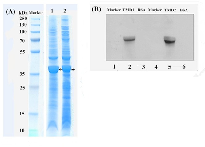 <t>SDS–PAGE</t> and a ligand blot analysis of the HaABCC1 fragments. (A) Marker, protein marker; Lane 1, TMD1 fragment after ultrasound treatment; Lane 2, TMD2 fragment after ultrasound treatment. (B) Lanes 1 and 4, protein marker; Lanes 3 and 6, bovine serum albumin (BSA), as a control; Lane 2, TMD1 fragment bound with Cry2Ab; Lane 5 TMD2 fragment bound with Cry2Ab.