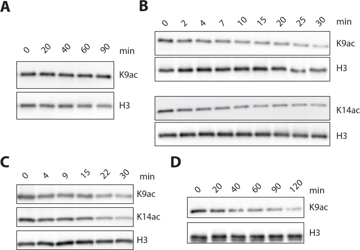 LHC and isolated HDAC1 deacetylation of nucleosomes and isolated histone H3 containing Kac. ( A ) His-FLAG-HDAC1 (50 nM) showed no detectable deacetylation of H3K9ac nucleosome substrate (100 nM). ( B ) His-FLAG-HDAC1 (5 nM) showed robust deacetylation of both H3K9ac and H3K14ac histone H3 substrates (1 μM). ( C ) Deacetylation of the H3K9K14K18 triacetylated histone H3 (1 μM) by 1 nM LHC. ( D ) Deacetylation of 100 nM H3K9ac nucleosomes (lacking H3K4me2 modification) by 20 nM LHC. Each of these panels shows western blots with the relevant site-specific and total H3 Abs. (n = 3 for all measurements except n = 2 for A and B).