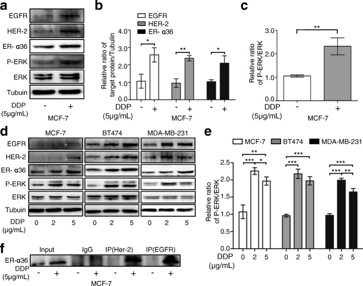 Up-regulation of ER-α36 leads to increased activation of nongenomic estrogen signaling. a MCF-7 cells were treated with or without 5 μg/mL cisplatin (DDP) for 48 h. Then the protein levels of EGFR, HER-2, ER-α36, total ERK (ERK) and phosphorylated ERK (P-ERK) were detected using western blot. b , c The quantitative analysis of cisplatin-induced expression of ER-α36, EGFR, HER-2 and P-ERK/ERK of ( a ). d MCF-7, BT474 and MDA-MB-231 cells were treated with cisplatin at the indicated concentrations for 48 h and then the protein levels of EGFR, HER-2, ER-α36, ERK and P-ERK were analyzed by western blot. e The quantitative analysis of cisplatin-induced expression of P-ERK/ERK of ( d ). f MCF-7 cells were treated as in ( a ). The cell lysates were immunoprecipitated with anti-HER-2 or anti-EGFR antibodies. Then the immunoprecipitates were separated by SDS-PAGE and probed with anti-ER-α36 antibodies. Immunoprecipitation of IgG was used as a negative control