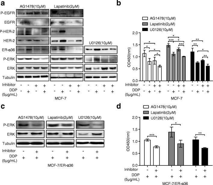Disruption of ER-α36-mediated nongenomic estrogen signaling increases cisplatin sensitivity in breast cancer cells. a MCF-7 cells were treated with or without 5 μg/mL cisplatin (DDP) for 48 h after preincubated with or without AG1478, Lapatinib, and U0126 at the indicated concentrations for 6 h, respectively. Then the levels of ER-α36, total EGFR (EGFR) and phosphorylated EGFR (P-EGFR), total HER-2 (HER-2) and phosphorylated HER-2 (P-HER-2), total ERK (ERK) and phosphorylated ERK (P-ERK) were evaluated using western blot. b MCF-7 cells were treated as in ( a ), and then the cell proliferation was measured with CCK-8 assay kit. c MCF-7/ER-α36 cells were treated with 5 μg/mL cisplatin for 48 h after preincubated with or without AG1478, Lapatinib, and U0126 at the indicated concentrations for 6 h, respectively. Then the total ERK (ERK) and phosphorylated ERK (P-ERK) was detected by western blot. d MCF-7/ER-α36 cells were treated as in ( c ), and then the cell proliferation was examined using CCK-8 assay kit. * P