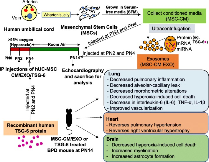 Schematic representation of MSC-CM/EXO/TSG-6 treatment regimen and outcomes in the mouse model of BPD. BPD pathology is reversed in the pups injected with secretome of hUC-derived MSCs. This therapeutic effect is mediated, at least in part, by exosomal factor TSG-6. BPD bronchopulmonary dysplasia, CM conditioned medium, EXO exosomes, hUC human umbilical cord, i.p. intraperitoneal, MSC mesenchymal stem cell, PN postnatal, TSG-6 tumor necrosis factor alpha-stimulated gene-6