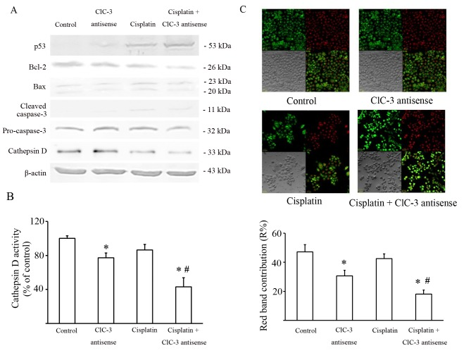 Effect of CLCN3 antisense transfection on cisplatin cytotoxicity and lysosome dysfunction. U251 cells were treated with or without cisplatin (15 µmol/l) for 24 h following transfection of nonsense or CLCN3 antisense. (A) Analysis of apoptotic pathways triggered by cisplatin and CLCN3 antisense. Western blot analysis of TP53, BCL2, BAX, Cathepsin D expression and caspase 3 cleavage. β-actin was used as the loading control. Values represent means of three independent experiments. (B) Cathepsin D activity in cell lysates. Values represent means of three independent experiments. (C) Effects of cisplatin and CLCN3 antisense on AO emission spectra in red-stained organelles. U251 cells were treated with or without cisplatin (15 µmol/l) for 12 h following transfection of nonsense or CLCN3 antisense. Fluorescence emission of AO from red-stained organelles after 30 min of incubation with AO (5 µmol/l). The contribution of the red band within the whole spectrum (R%) is shown. A total of 25 cells were analyzed for each condition. magnification ×400 (*P