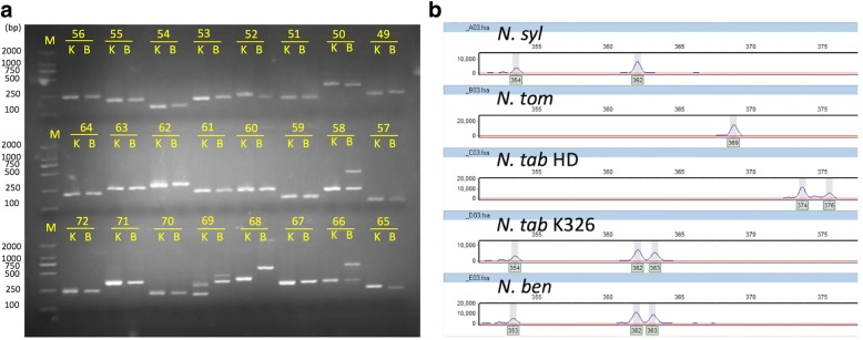 Experimental validations of NIX markers by amplification and allele scoring. Image shows the PCR fragments resolved by agarose gel ( a ) or DNA fragment analyzer ABI3730X ( b ). N. syl, N. tom, N. Tab HD, N. Tab K326, and N. ben represent N. sylvestris, N. tomentosiformis , N. tabacum HD, N. tabacum K326 (K), and N. benthamiana (B) , respectively. The numbers in the image represent validated IDs for markers