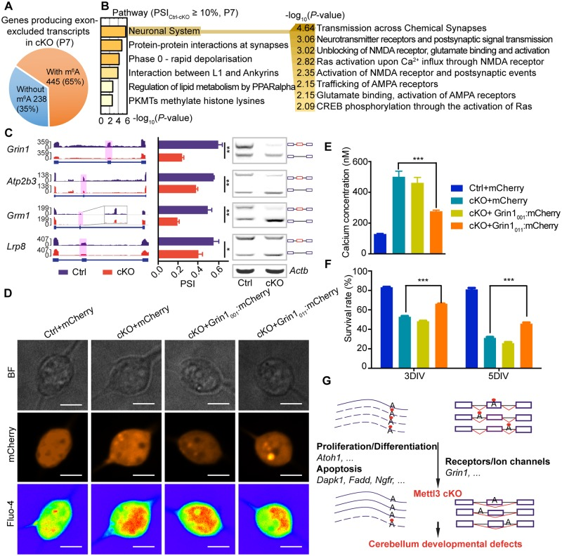 """m 6 A depletion induces exon exclusion in synapse-associated genes. (A) Genes producing exon-excluded transcripts in P7 cKO cerebellums as compared with the Ctrl. (B) Enriched pathways of genes producing exon-excluded transcripts in P7 cKO cerebellums as compared with the Ctrl. Enriched pathways under the """"Neuronal system"""" are expanded on the right. (C) Production of exon-excluded transcripts of major synapse-associated genes in P7 cKO cerebellums. Left, IGV tracks displaying the RNA-seq reads coverage in P7 Ctrl (blue) and cKO (red) cerebellum, the excluded exons are shaded with pink columns. Middle, calculated exon-exclusion percentage in P7 cKO cerebellums by the PSI value. Right, semiquantitative PCR detection of exon-excluded transcripts in P7 cKO cerebellums. (D) Images of the CGCs in the calcium detection assay. Grin1 001 or Grin1 011 was introduced into the cKO CGCs by electroporation and was co-expressed with <t>mCherry</t> (red). Fluo-4 (rainbow) indicated the cellular calcium concentration in the CGCs. Scale bar, 5 μm. (E) Statistical analysis of the cellular calcium concentration in the calcium detection assay. (F) CCK8 assay shows the survival rate of the Ctrl CGCs with overexpression of mCherry and cKO CGCs with overexpression of Grin1 001 or Grin1 011 in 3 DIV and 5 DIV. (G) Schematic diagram illustrating the mechanisms underlying the regulatory functions of METTL3-mediated m 6 A modification in cerebellar development. Red dots represent m 6 A modification. The box and line symbols in the right part of the diagram represent pre-spliced RNAs, with exons shown as boxes and introns shown as black lines. Exons in post-spliced RNAs are connected by red lines. Further information about this figure can be found in S1 Data . The data were represented as means ± SEM. For calcium concentration detection, n = 10; for CCK8 assay, n = 3. * p -value"""