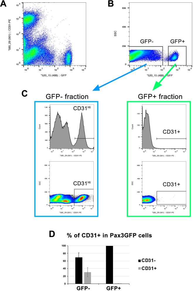 Minimal CD31+ cell contamination in FACS-isolated skeletal muscle stem cells. Pax3 GFP/+ trunk muscles from adult mice were digested in a solution of collagenase/dispase, filtered, and immunolabeled for the endothelial cell marker CD31-PE (Phycoerythrin fluorochrome) before FACS. ( A ) Gating for CD31-PE/GFP. ( B ) Gating for single cell (SSC-side scatter)/GFP. ( C ) Histograms and gating for cell number/CD31+ cells in GFP- and GFP+ cell fractions. ( D ) Graphic illustrating the proportion of CD31+ cells. n = 3. Data expressed as mean ± s.e.m.