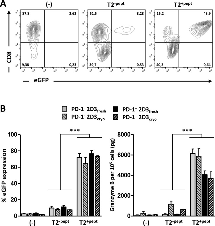 Validation of antigen-specific TCR function of transfected 2D3 and PD-1 + 2D3 cells ( A – B ) Activation profiles of freshly used or thawed WT1-specific TCR mRNA-electroporated PD-1 − and PD-1 + 2D3 cells left unstimulated (-) versus 24 hours co-culture with unloaded (T2 -pept ) and WT1 peptide-pulsed (T2 +pept ) stimulator cells at a ratio of 2:1. Comparable results were obtained with gp100 TCR-positive PD-1 − and PD-1 + 2D3 cells. (A) Representative example of TCR activation-mediated eGFP expression within the viable CD8 + cell population as assessed with flow cytometry (freshly used WT1 TCR mRNA-electroporated PD-1 + 2D3 cells). (B) The left graph shows the mean percentage (± SEM) WT1-specific TCR activation-mediated eGFP expression from 2–8 replicate experiments. The right panel depicts the mean amount (± SEM) of secreted granzyme B determined with ELISA in cell-free 24-hour culture supernatant of 10 5 effector cells for 2–4 replicate experiments. Data information: * P ≤ 0.05, ** P