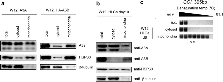 A3A and A3B were contained in the mitochondria. ( a ) W12 cells were transfected with an expression vector coding A3A or HA-A3B, and cultivated in maintenance medium for 48 h. Their lysates were fractionated into cytosolic and mitochondrial fractions, and subjected to western blotting analysis. ( b , c ) W12 cells were induced to differentiate under high extracellular calcium concentration, and fractionated into cytosol and mitochondrial fraction, ( b ) Each fraction was subjected to immunoblotting of A3s, HSP60 (a mitochondrial marker), and <t>β-tubulin.</t> ( c ) DNA was extracted from each fraction and subjected to 3D-PCR analysis targeting COI .