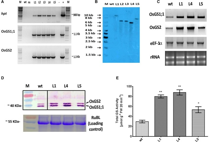 Molecular and biochemical analysis of transgenic rice lines co-overexpressing OsGS1;1 and OsGS2 . (A) PCR amplification of hygromycin phosphotransferase ( hpt ), OsGS1;1 and OSGS2 genes using specific primers in wild type ( wt ), null segregant ( ns ), and five positive T 2 transgenic lines (L1-L5). M: 1Kb DNA ladder (+): positive PCR control (pMDC99) and (–) water blank. (B) Southern blot analysis of wt and five T 2 transgenic lines (L1, L2, L3, L4, and L5), probed with hpt gene probe showing single copy insertion. (C) Semi quantitative RT-PCR showing overexpression of OsGS1;1 and OsGS2 in transgenic lines (L1, L4, and L5) as compared to wt . The rice eEF1α gene was used as a reference gene and rRNA was used as loading control. (D ; top panel) Immunoblot analysis of three transgenic rice lines (L1, L4, and L5) and wt using a recombinant antibody which detects both OsGS1;1 and OsGS2 isoforms (black lines separate spliced regions from same blot) ( D ; bottom panel) Coomassie blue stained Rubisco large subunit (RubL) was used as loading control. (E) Total GS activity of three transgenic rice lines (L1, L4, and L5) in comparison to wt as assayed by a modified semi-biosynthetic assay (Singh and Ghosh, 2013 ). One unit of GS activity represents 1.0 μmol of γ-glutamylhydroxamate produced in 20 min. Asterisks above bars indicate significant differences from wt (* at p ≤ 0.05 and ** at p ≤ 0.01).