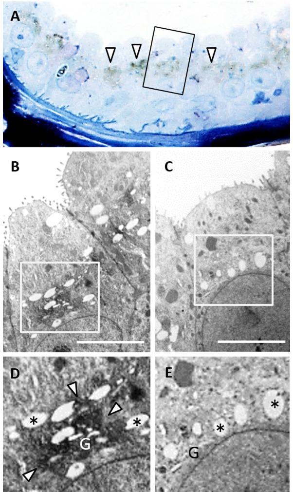 Localization of VVA reaction in apocrine cells of castrated males during the breeding season. Semi-thin sections with VVA staining (A). Square (A) corresponds to panel (B). Arrowheads, positive VVA staining. Transmission electron microscopy (TEM) image of ultrathin section (B) adjacent to panel (A). TEM image without VVA staining from same individual (C). Square (B) and (C) correspond to panel (D) and (E), respectively. Asterisk, secretory granule. G, Golgi apparatus. Scale bar: 5 µ m.