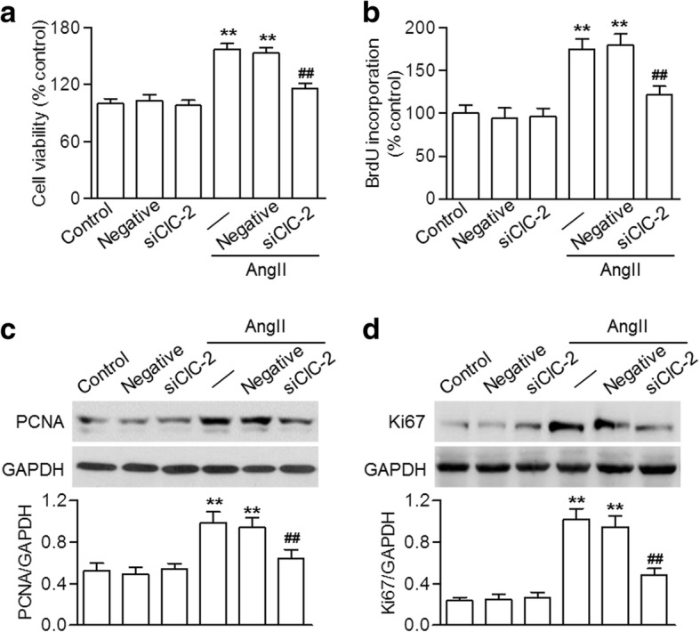Lack of ClC-2 reduced AngII-induced HBVSMC proliferation. a and b Cells were transfected with ClC-2 siRNA (siClC-2; 20 nM) or negative siRNA (negative; 20 nM) for 48 h in prior to angiotensin II (AngII) treatment (10 − 7 M) for another 48 h. Cell proliferation was determined using the CCK-8 assay ( a ) and BrdU incorporation ( b ). c and d The protein expressions of PCNA ( c ) and Ki67 ( d ) were detected using western blotting. ** p