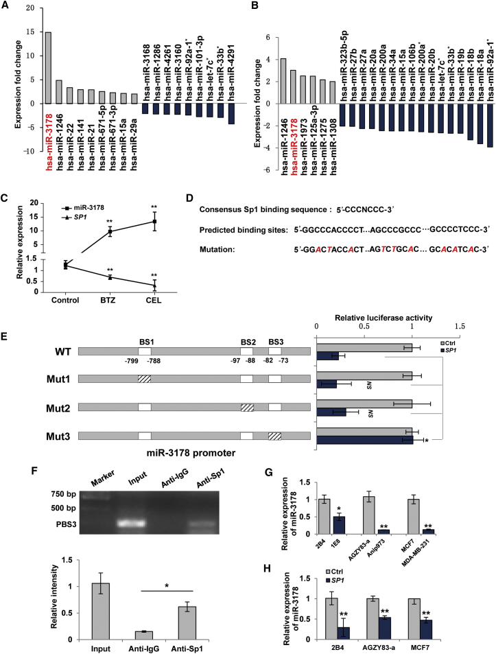 Sp1 Negatively Regulates miR-3178 by Binding to Its Promoter Region (A and B) miRNA profiling analysis. LNCaP cells were treated with 100 nM bortezomib (BTZ) (A) or 2.5 μM celastrol (CEL) (B) for 12 hr. miRNAs with over 2-fold changes against control were shown. (C) Expressions of SP1 and miR-3178 post-treatments as (A) and (B) in LNCaP cells are shown. (D) Consensus Sp1 sites and predicted binding sites (BSs) of Sp1 in miR-3178 promoter are shown. Mutations of each BS were indicated by italic red cases. (E) Luciferase reporter assay is shown. Luciferase reporter constructs were generated as schematic depiction and transfected into 1E8 cells in the presence of SP1 or control (Ctrl) plasmid. Wild-type (WT) and mutant Sp1 sites (Mut1–3) were indicated by blank and italic dash, respectively. NS, non-significant difference. (F) ChIP assay is shown. DNA was immunoprecipitated with anti-IgG or anti-Sp1 antibody and amplified by PCR using primer specific for BS3. Input chromatin before immunoprecipitation was used as control. Experiments were repeated three times, and results were shown as mean ± SD in the lower panel. (G) Expressions of miR-3178 in prostate, lung, and breast cancer cell lines are shown. (H) Expression of miR-3178 in lowly metastatic cancer cells after ectopic expression of SP1 is shown. Values were shown as mean ± SD of three independent experiments. *p