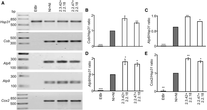 Estimation of mtDNA Abundance (A) PCR amplification of the Cob , Atp6 , Atp9 , and Cox2 genes was used to assess mtDNA loss using genomic DNA isolated from cells expressing 103Q-htt with intramers or non-inhibitors. Hsp31 served as the control for nuclear DNA. Yeast cells treated with EtBr (black bars) to induce mtDNA loss were used as a negative control. (B–E) Densitometric analysis for band intensities was carried out, and the ratio of mitochondrial to nuclear marker was plotted for (B) Cob , (C) Atp6 , (D) Atp9 , and (E) Cox2 . The ratio of intensities of mitochondrial to nuclear markers in cells expressing 103Q-htt in the presence of a pair of non-inhibitors (gray bars) was assigned an arbitrary value of 1 in each case. Values shown are mean ± SEM of three independent experiments. ***p