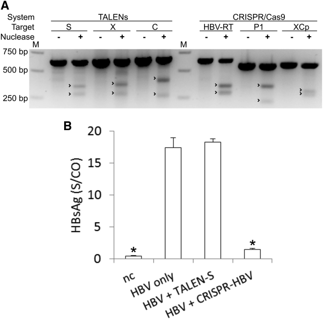 """Proof of Concept of Anti-HBV Efficacy of TALENs or CRISPR/Cas9 (A) HEK293 cells were co-transfected with an HBV expression plasmid pTHBV2 and either of the complete nuclease systems. DNA was isolated after 4 days and examined for mutagenesis at target sites by T7E1 assay. Undigested and digested products were separated on an agarose gel side by side for comparison. Expected cleavage product sizes are indicated by arrowheads. """"M"""" indicates the molecular weight marker lane. (B) Huh7 cells were co-transfected with an HBV expression plasmid pTHBV2 and TALEN or CRISPR/Cas9 nuclease systems. HBsAg concentrations in the supernatant were measured after 4 days by ELISA. Data are represented as means of S/CO (sample to control ratio) values and error bars indicate SD of three replicates. Statistically significant differences to HBV only are indicated by an asterisk (*p"""