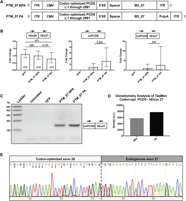 Editing of CEP290 Transcripts Occurs in HEK293T after Transfection with PTMs (A) Illustration of adeno-associated virus genome arrangement of a CEP290 5′ PTM with binding domain 07 (PTM_07) with either no poly-adenylation signal (NPA) or with a bovine growth hormone poly-adenylation signal (PA). ITR, inverted terminal repeat; CMV, cytomegalovirus promoter; PCDS, partial coding DNA sequence of CEP290 ; 5′ SS, 5′ splice site. (B) qPCR was performed on HEK293T transfected with a plasmid encoding GFP as a transfection control or the plasmids in (A). TaqMan probes were designed to the junctions indicated: CEP290 exons 26 and 27 (hEx26-hEx27), a region within the 5′ codon optimized partial coding DNA sequence (coPCDS), or the novel junction of 5′ coPCDS and endogenous Homo sapiens exon 27 to signify trans -splicing (coPCDS-hEx27). Significant variation within replicates for coPCDS-hEx27 was present because the Ct was crossed at 35 cycles with either PTM; however, no amplification was observed through 40 cycles in GFP-treated samples. Samples were standardized to β-2-microglobin and normalized to NPA. Error bars are relative quantity minimum and maximum 95% confidence intervals. (C) Agarose gel electrophoresis of one of the replicate reactions from (B). (D) Densitometry analysis of the bands in (C). (E) Sanger sequencing following TOPO-cloning of the PCR product comprising the coPCDS-hEx27 junction visualized in (C). Nucleotide differences between Homo sapiens and codon-optimized CEP290 are noted by asterisks. The junction between the 5′ coPCDS and endogenous exon 27 is marked by a vertical dashed line.