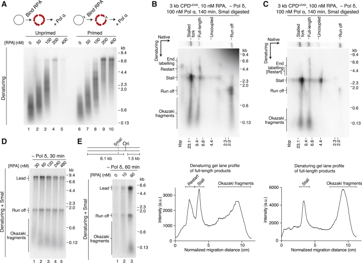 RPA Levels Differentially Affect Lagging- and Leading-Strand Priming (A) <t>Primase</t> assay. RPA was pre-bound to unprimed (left) and primed (right) M13mp18 ssDNA for 10 min before addition of Pol α for 20 min. 120 nM RPA is saturating assuming a binding footprint of 30 nt. (B and C) Two-dimensional gels of replication assays performed on the 3 kb CPD LEAD template with 10 nM (B) or 100 nM (C) RPA. Lane profiles showing the constituents (denaturing) of the full-length products are shown below each gel. (D) RPA titration on an AhdI-linearized undamaged template. (E) RPA titration on a truncated undamaged template as illustrated.