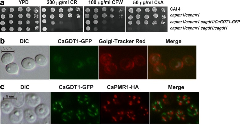 Subcellular localization of CaGdt1 and its function in virulence. a Functional test of the GDT1-GFP allele in the sensitivity of C. albicans cells to Congo red (CR), Calcofluor white (CFW) and cyclosporine A (CsA) in WJCA102 cells ( pmr1/pmr1 gdt1/GDT1-GFP ). b co-localization of CaGDT1-GFP and Golgi-Tracker Red marker in the WJCA102 cells. c Co-localization of CaGDT1-GFP and CaPMR1-HA in WJCA111 cells through indirect immunofluorescent approach. Images of differential interference contrast (DIC), GFP, red florescence derived from Golgi-Track Red dye ( b ) or from goat anti-mouse IgG conjugated to Alexa Fluor 555 (for CaPMR1-HA protein) ( c ) and their merged images are presented. Scale bar, 5 μm