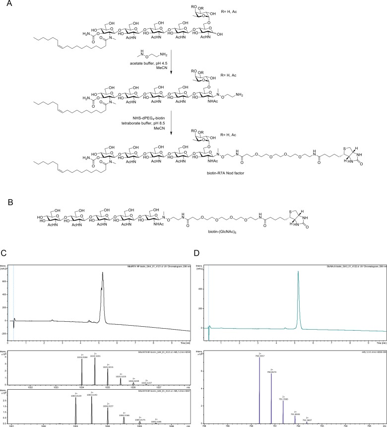 Chemoselective synthesis of biotinylated R7A Nod factor and chitin pentamer conjugates. ( A ) Synthesis of biotinylated Mesorhizobium loti , strain R7A Nod factor conjugate. Conditions: (i) R7A Nod factor (5 mM), O -(2-aminoethyl)- N -methyl hydroxylamine (150 mM), 0.62 M acetate buffer at pH 4.5 containing 50% acetonitrile, 16 hr; (ii) N -hydroxysuccinimidyl–dPEG4–biotin (15 mM), 50 mM borate buffer at pH 8.5 containing 50% acetonitrile, 16 hr. ( B ) Structure of analogously synthesized biotinylated chitopentaose conjugate. ( C ) High-performance liquid chromatography (HPLC) chromatogram (215 nm) and high-resolution mass spectrometric (HR-MS) data for biotinylated R7A Nod factor conjugate. The chromatogram displays overlapping peaks, owing to a distribution of OAc groups on the fucosyl unit (main species include 3- O -acetylated, 4- O -acetylated, or non-acetylated fucosyl unit). High-resolution mass spectra (HR-MS) were obtained using a Dionex <t>Ultimate</t> 3000 <t>UHPLC</t> instrument (Thermo) coupled to a Bruker Impact HDII QTOF mass spectrometer. Mass spectra shown for [M + 2 hr]2 + for 3- O and 4- O -acetylated species (upper panel) and non-acetylated species (lower panel). ( D ), HPLC chromatogram (215 nm) and HR-MS data for biotinylated chitopentaose conjugate. Mass spectrum shown for [M + 2 hr]2+.