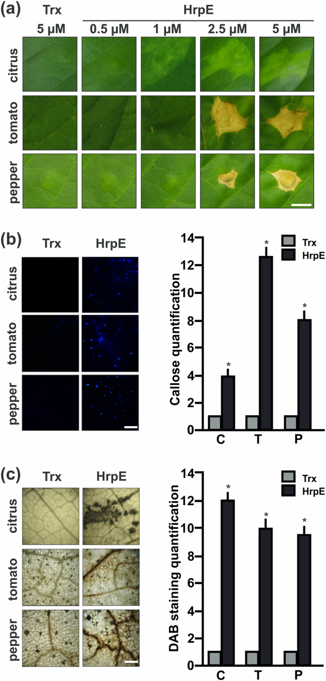 Analysis of citrus, tomato and pepper leaves responses to Xcc HrpE. ( a ) Representative photographs of leaves responses to the infiltration of pure HrpE-Trx- 6 His (HrpE), ranging from 0.5 µM to 5 µM, and 5 µM Trx- 6 His (Trx) (control) 1 dpi. Bar indicates 0.5 cm. ( b ) Representative fluorescence microscopy photographs of aniline blue staining of callose deposition in leaves infiltrated with 2.5 µM HrpE and Trx (control) 8 hpi (tomato and pepper) and 16 hpi (citrus). Bar indicates 20 μm. The right panel shows the quantification of callose intensities in citrus (C), tomato (T) and pepper (P) tissues infiltrated with HrpE (black bars) relative to Trx (grey bars). ( c ) Representative photographs of DAB stained leaves infiltrated as in ( b ) (Bar indicates 1 mm). In citrus, H 2 O 2 production is observed as brown precipitates in leaf tissues and in tomato and pepper, the brown precipitates are observed near to the leaf veins. The right panel shows the quantification of DAB staining in infiltrated C, T and P tissues with HrpE (black bars) relative to Trx (grey bars). For both, callose and DAB intensities quantifications, the means were calculated from 25 photographs obtained from different treated leaves from three independent experiments. Error bars indicate standard deviations. Asterisks represent significant differences based on one-way ANOVA ( p