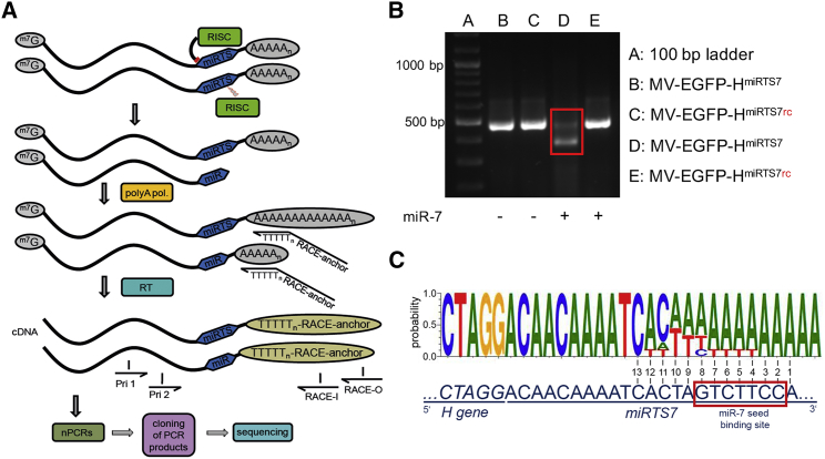 Mechanism of microRNA-Based Vector Control To elucidate the mechanism of microRNA-based vector control, a 3′ RACE (rapid amplification of cDNA ends) followed by sequencing approach was applied. Vero cells were transfected with miR-7-5p mimics and subsequently infected with MV-EGFP-H miRTS7 or MV-EGFP-H miRTS7rc at an MOI of 0.03. Thirty-five hours p.i., total RNA was isolated. (A) Schematic depiction of the RACE procedure. Total RNA was poly(A) tailed, and cDNA synthesis was performed using a RACE anchor primer. The RACE anchor primer contains a poly-T sequence complementary to the poly(A) tail of poly(A)-tailed RNAs, which is preceded by a nucleotide other than T (V) in order to position the primer at the beginning of the poly(A) sequence of the template. Two reactions of a nested PCR with primers complementary to regions upstream of the miRTS box (Pri 1, Pri 2) and regions within the RACE anchor sequence (RACE-I, RACE-O) were performed. Products of the second reaction of the nested PCR were then subjected to gel electrophoresis and bands containing PCR products of interest were cloned for subsequent Sanger sequencing. (B) Gel electrophoresis image showing products of the second reaction of the nested PCR. PCR products from samples transfected with miR-7-5p and infected with MV-EGFP-H miRTS7 (red box) were gel purified, cloned, and subjected to sequencing. (C) Sequencing result of cloned RACE-PCR fragments from H mRNA containing a miRTS7 box in presence of miR-7-5p. The upper sequence is the consensus cleavage sequence of the nine RACE-PCR fragments that showed cleavage within the first miRTS. The lower sequence shows the uncleaved sequence of the miRTS for miR-7-5p for comparison. Nucleotides are numbered from 3′ to 5′ starting at the 3′ end of the first microRNA target sequence with the miR-7-5p seed sequence indicated by a red box.