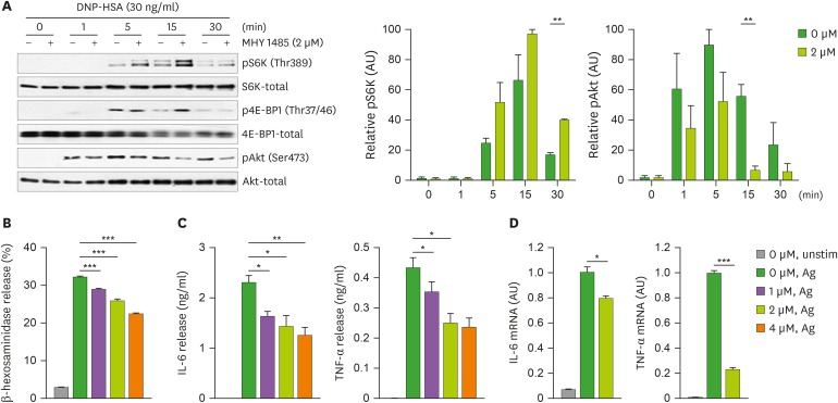 Effects of MHY1485 on FcεRI-mediated degranulation and cytokine production in mast cells. BMMCs were sensitized for 5 h, incubated with the indicated concentration of MHY1485 for 1 h, and then either unstimulated (unstim) or stimulated with the DNP-HSA Ag. (A) Time-course immunoblot analysis for mTOR signaling, with or without MHY1485, following Ag stimulation. Band densities of pS6K on Thr389 and pAkt on Ser473 were normalized to their total protein expression from the results of 3 independent experiments. AU represents arbitrary unit. (B) Degranulation was assessed by measuring β-hexosaminidase release 30 min after stimulation. (C) The levels of IL-6 and TNF-α proteins in the media were analyzed using ELISA 6 h after stimulation. (D) qRT-PCR analysis for FcεRI-mediated induction of Il6 and Tfna mRNA was carried out 1 h after Ag stimulation. Bar graphs are shown as mean±standard error of the mean of triplicates and are representative of 3 independent experiments. A p-value of less than 0.05 between stimulated groups with and without MHY1485 treatment is judged significant and indicated. pS6K, phospho-S6K; Thr389, threonine 389; pAkt, phospho-Akt; Ser473, serine 473; qRT-PCR, quantitative real-time PCR. * p