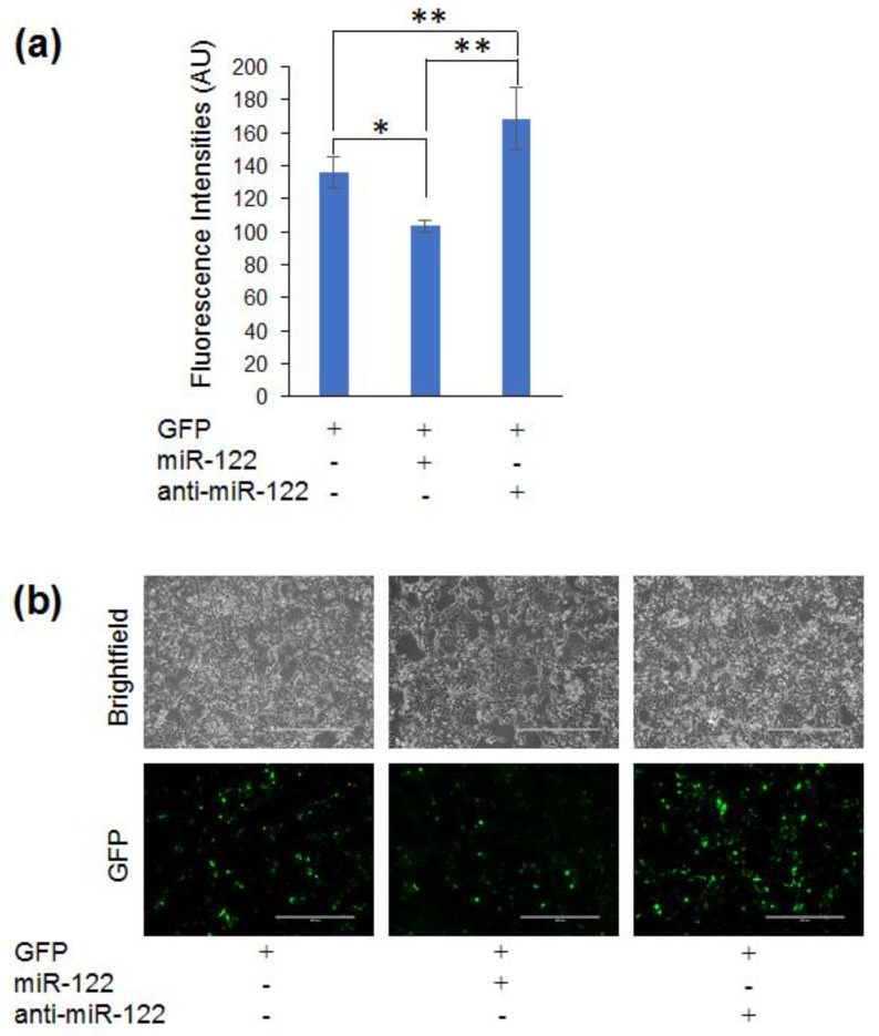 MiRAR-miR-122: Reporter gene construct for cellular miR-122 levels. Fluorescence intensities ( a ) for HEK 293 cells co-transfected MiRAR-miR-122 (CPEB-3′UTR) and miR-122 or anti-miR-122. HEK 293 cells were grown to 60–80% confluency and treated as indicated. Fluorescence intensities were measured by the Synergy H1 microplate reader at an excitation of 480 nm and emission of 509 nm. Error bars represent one standard deviation. ( a ) Cells transfected with 100 nM RNA; ( b ) MiRAR cell images of cells treated with RNAs as indicated. White bars show 400 µm. p values are *