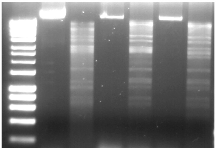 Genomic DNA of Pectobacterium phages CB1, CB3, and CB4, BamHI-digested (lanes 3, 5, and 7, respectively) and undigested (lanes 2, 4, and 6, respectively). Lane 1, DNA marker (Hyperladder 1 kb, Bioline). Gel concentration 1% w / v agarose.