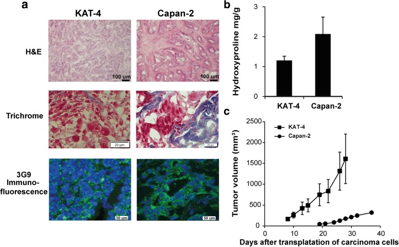 Comparison of untreated KAT-4 and Capan-2 carcinoma models. a Hematoxylin and Eosin and Sirius red staining in KAT-4 and Capan-2 carcinomas (bars = 100 μm). Trichrome staining (bars = 20 μm) and immunofluorescence staining with biotinylated 3G9 antibody (green) shows that the expression of integrin α V β 6 is located at the cell membrane in both KAT-4 and Capan-2 carcinomas (cell nuclei stained with DAPI, blue; bars = 50 μm). b Collagen content in untreated KAT-4 ( n = 4) and Capan-2 ( n = 5) carcinomas, represented by hydroxyproline mg/g wet weight. c Average growth of untreated KAT-4 ( n = 8) and Capan-2 tumors ( n = 7), represented in mm 3 measured externally (length x width x height)